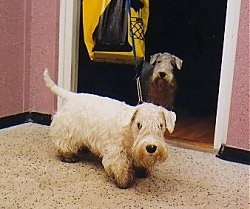 A short, white Sealyham Terrier is standing across a carpeted surface and it is looking forward. There is another Sealyham Terrier in the background that is standing at a doorway.