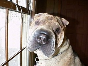 Close up - A large headed, tan Chinese Shar-Pei is sitting on a carpet, in front of a window and it is looking forward. The dog has a large square head and small ears with a big nose.