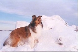 The right side of a brown with white Shetland Sheepdog that is standing next to a pile of snow. The pile of snow is as big as the dog. The dog looks like a collie.