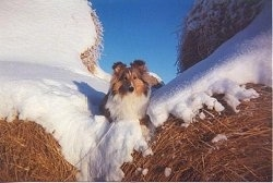 A brown with white Shetland Sheepdog is laying in between two hay bales that are covered in snow and the dog is looking forward.