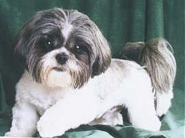 The left side of a white and grey Shih Tzu that is laying across a green backdrop. It has a shaved body and longer hair on its tail and ears and big round eyes with a black nose.