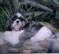 The left side of a white and grey Shih Tzu dog that is laying across a stone wall and it is looking forward.