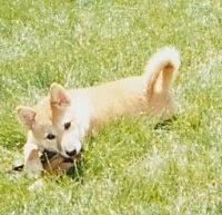 Side view - A tan with white Shiba Inu puppy is laying across a field. Its head is slightly tilted to the left as it chews on a bone.