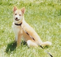 The left side of a tan with white Shiba Inu puppy that is sitting in grass and it is looking forward.