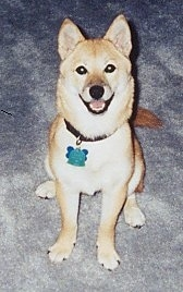 Front view - A tan with white Shiba Inu is sitting on a carpeted surface, it is looking up, its mouth is open and it looks like it is smiling.