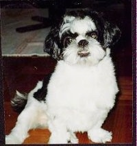 Close up front view - A black and white Shih-Tzu puppy is sitting on a hardwood floor and it is looking forward. Its bottom teeth are showing due to an underbite.