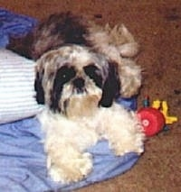 A black and white Shih Tzu dog is laying across a blue blanket, it is looking up and forward. There is a red toy to the right of it.