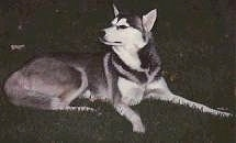 The right side of a black, grey and white Siberian Husky that is laying in grass and it is looking to the left.