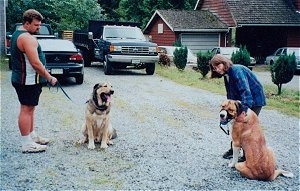 A man is holding the leash of a black and tan Spanish Mastiff and a lady is holding the leash of a brown with black and white Spanish Mastiff. Both dogs are panting and sitting in a driveway that has three cars in it and a red house to the right.