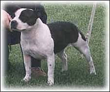 The front left side of a black and white Staffordshire Bull Terrier dog standing across a field and it is looking to the left. There is a person kneeling behind it.