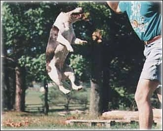 A Staffordshire Bull Terrier is jumping in the air a couple of feet off of the ground with a person next to her