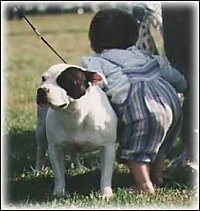 A thick bodied, black and white Staffordshire Bull Terrier is standing in a field, next to a toddler and it is looking to the left. The dog's ears are pinned back.