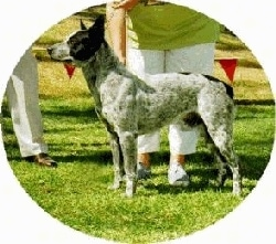 Australian Stumpy Tail Cattle Dogs