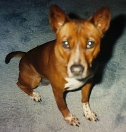 Close up front view - Top down view of a brown with white and black Telomian dog sitting across a carpeted surface, it is looking up and forward. It has perk ears, a black nose and wide dark eyes.