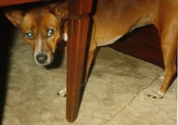 A brown with white and black Telomian dog standing under a table with its head level to its body and it is looking forward. The dogs front legs are shorter than its back legs.