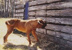 The right side of a brown with black Tosa dog  standing across a grass surface and it is looking through the holes in a wooden structure in front of it.