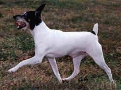 The left side of a white with black and tan Toy Fox Terrier is running across a grass surface and its mouth is wide open. The dog's small docked tail is up.