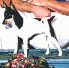 The front left side of a white with black and tan Toy Fox Terrier dog standing across a table surface, there is a flower bouquet in front of it, and it is looking down.