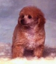 Close up front view - A fluffy reddish-brown with tan Toy Poodle puppy sitting on a sheep skin rug looking to the left.