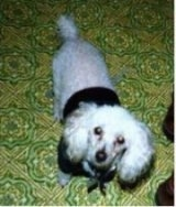 Top down view of a white Toy Poodle dog that is wearing a black shirt, it is looking up and its head is slightly tilted to the right. It has longer hair on its long drop ears and round dark eyes.