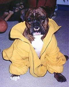 A wide-chested, dark brown brindle with white Valley Bulldog is wearing a yellow jacket, it is sitting on a carpet, it is looking forward and its head is slightly tilted to the right.