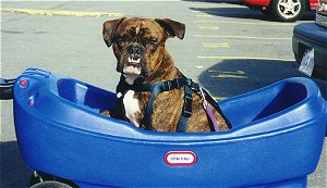 The left side of a dark brown brindle with white Valley Bulldog that is sitting in a blue wagon, it is wearing a blue harness and it is looking forward. The dog has a large underbite and its bottom teeth are showing.