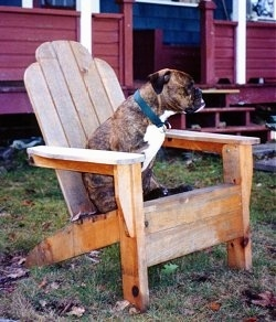 The left side of a brindle with white Valley Bulldog that is sitting on a wooden chair and it is looking to the right.