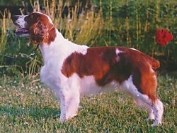 The left side of a brown with white Welsh Springer Spaniel that is standing in grass. Its mouth is open and it looks like it is smiling. The dog's tail is docked short.