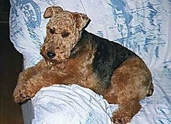 A brown with black Welsh Terrier that is laying across the arm of a couch and it is looking forward.