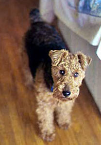A wavy coated black with brown Welsh Terrier is standing on a hardwood floor and to the right of it is a couch and it is looking up.