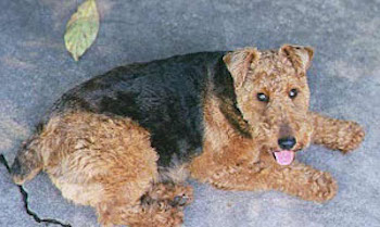 The right side of a black with brown Welsh Terrier that is laying across a concrete surface. It is looking up, its mouth is open and its tongue is sticking out. It has a wavy coat with small v-shaped ears that fold over to the front.