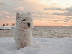 A West Highland White Terrier dog is standing on snow and it is looking to the right. Behind it is a large body of water and a view of a sunset.