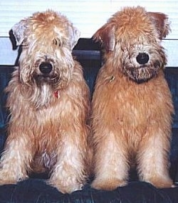 Close up front view - Two brown Soft Coated Wheaten Terriers are sitting on a couch looking forward. They have longer hair on their heads that hang into and cover their eyes.