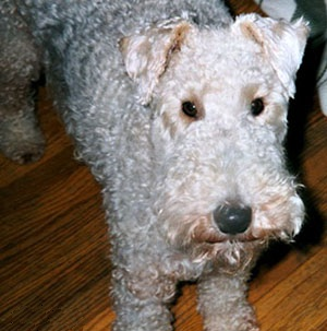Close up - Top down view of a curly coated, standing grey with tan Wire Fox Terrier that is standing on a hardwood floor and it is looking up. It has small V-shaped ears that fold over to the front.