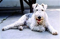The right side of a white with black and tan Wire Fox Terrier dog laying on a concrete porch, it is looking forward and its mouth is open.