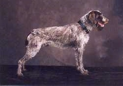 The right side of a white with brown Wirehaired Pointing Griffon that is standing across a brown surface. The dog's mouth is open.