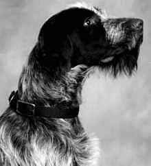 Close upside view head shot - A black and white photo of a Wirehaired Pointing Griffon that is sitting and it is looking up and to the right. It has longer hair on its chin that looks like a beard.