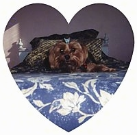 A brown with black Yorkshire Terrier dog laying down on a bed wearing a baby blue bow in its hair and it is looking forward. The image is inside of a heart.