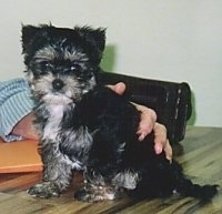 The left side of a tiny black with white and gray Yorkie puppy that is sitting on a table. There is a persons hand touching the puppys back. The dog has small fold over v-shaped ears that fold over to the front, wide round eyes adn a black nose.