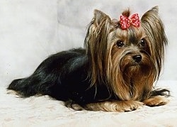 The front right side of a long haired, black with tan Yorkshire Terrier dog laying across a backdrop. The Yorkie has a red with white bow on the top of its head holding the hair out of its eyes. It has small pointy perk ears.