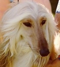 Close up - A Tan Afghan Hound close up head shot