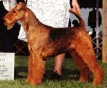 Airedale Terrier posing for judges at a dog show