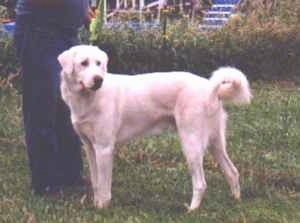 The left side of a white Akbash Dog in a yard looking to the right. The dog's tail is curled in a ring.