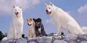 Two white Akita Inus are sitting on a rock structure with two Akita puppies sitting in between them.