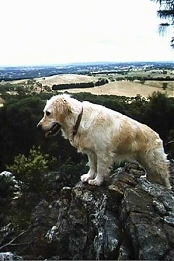 Tess the Golden Retriever is standing on a rock and looking over the edge of a cliff.