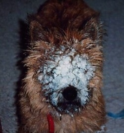 Close Up - Morgan the Cairn Terrier has snow packed into his fur all over its face