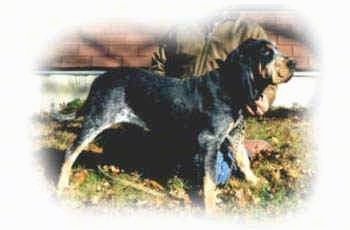 ... the old bluetick coonhound type or the American blue Gascon hound American Foxhound Strains