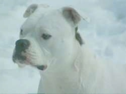 Close Up - Roxy the American Bulldog sitting in snow