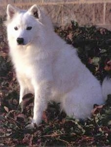 The left side of a white American Eskimo Dog that is sitting in weeds with a brick wall behind it
