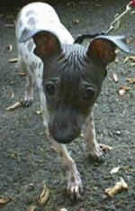 Close up - An American Hairless Terrier walking on a blacktop surface with a leash on